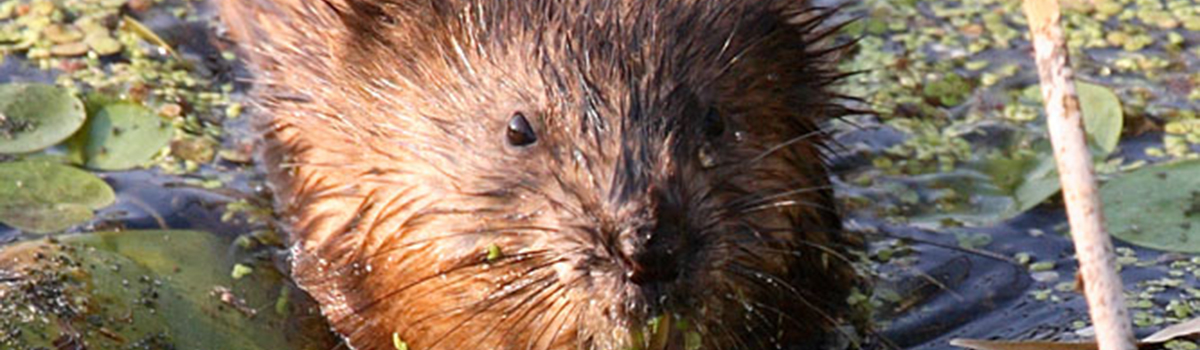 Wildlife Rescue and Control Inc. | Muskrat Removal ...