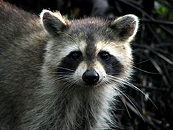 Raccoon Removal Indianapolis IN