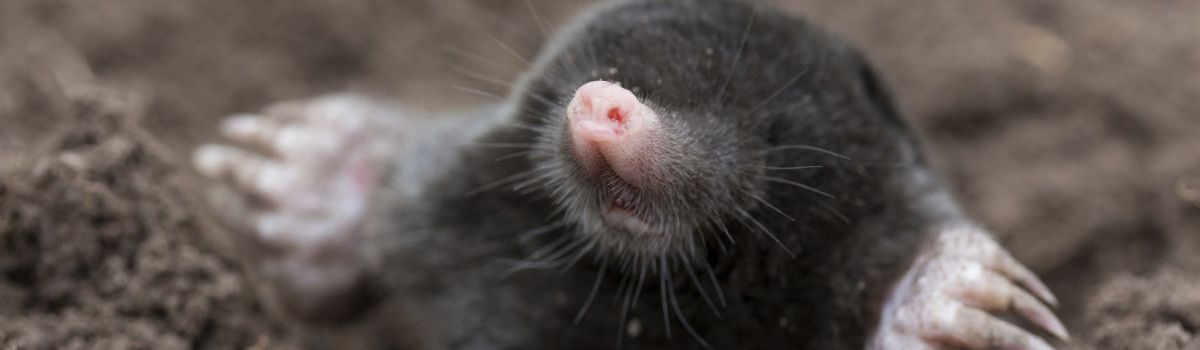Animal Mole Removal Indianapolis IN