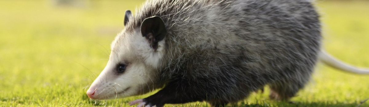 Opossum Removal Indianapolis IN