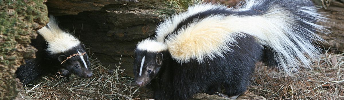 Skunk Removal Indianapolis IN